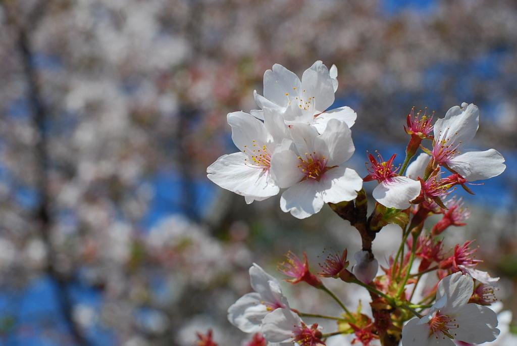 哲学の道の桜パート2