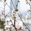 神戸北野天満宮の梅
