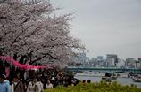 隅田川、お花見風景
