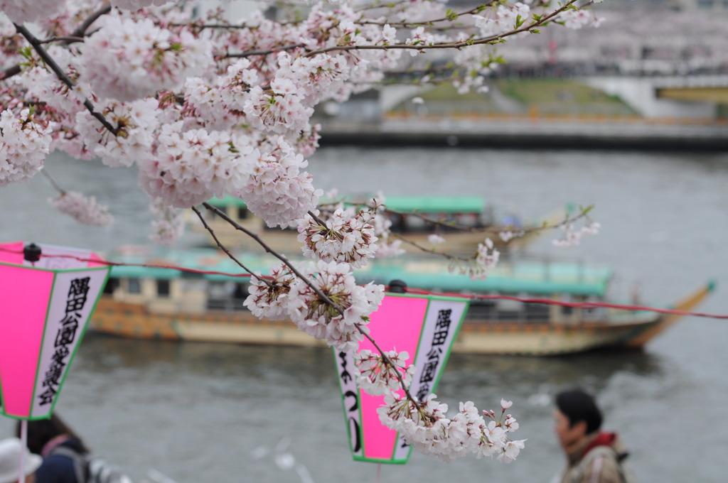 桜、屋形船