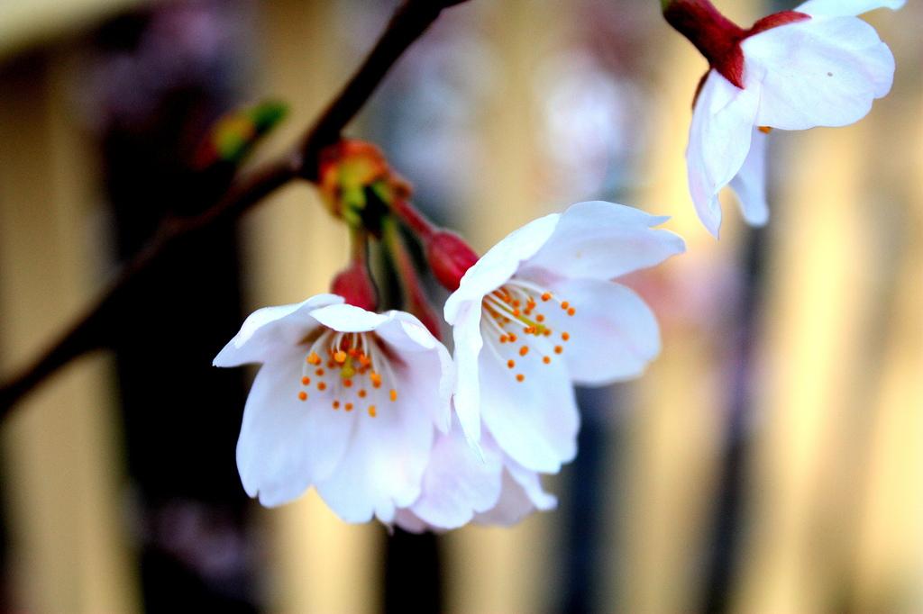 ひとひらの桜