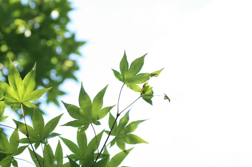緑の紅葉好き
