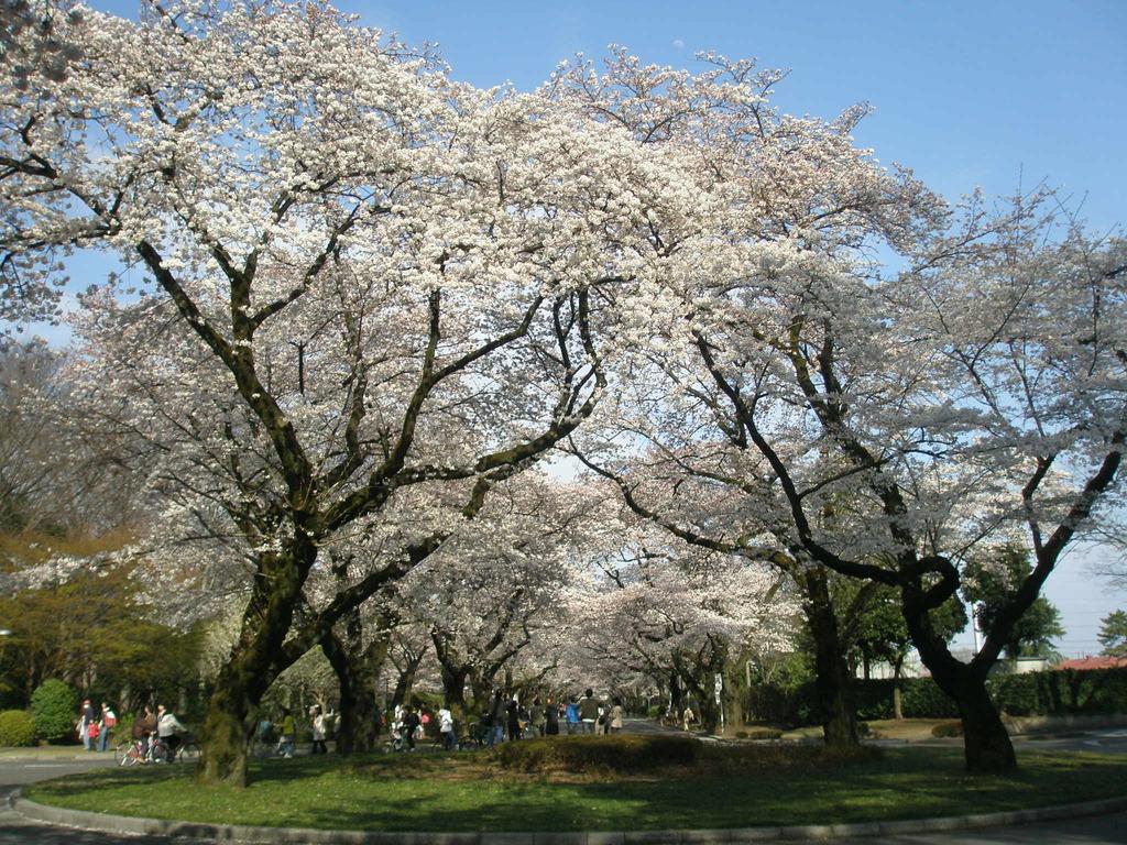 ここの桜は背が高い