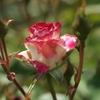 薔薇の香り2010 #1