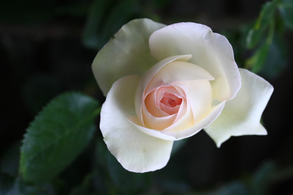 090527 roses 005