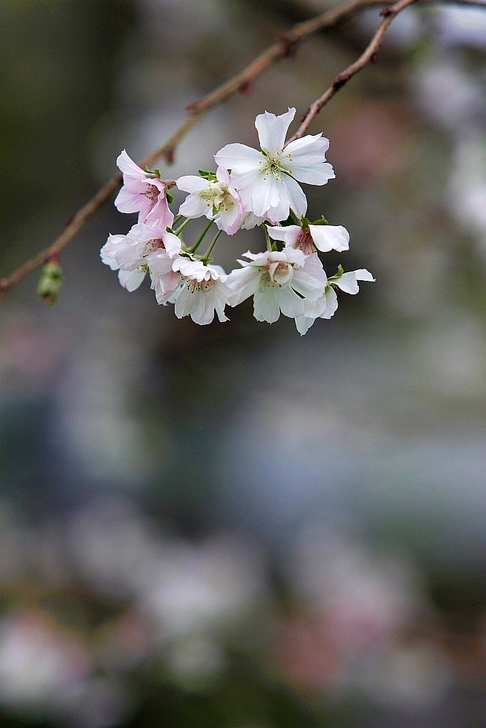 Unseasonable cherry blossoms