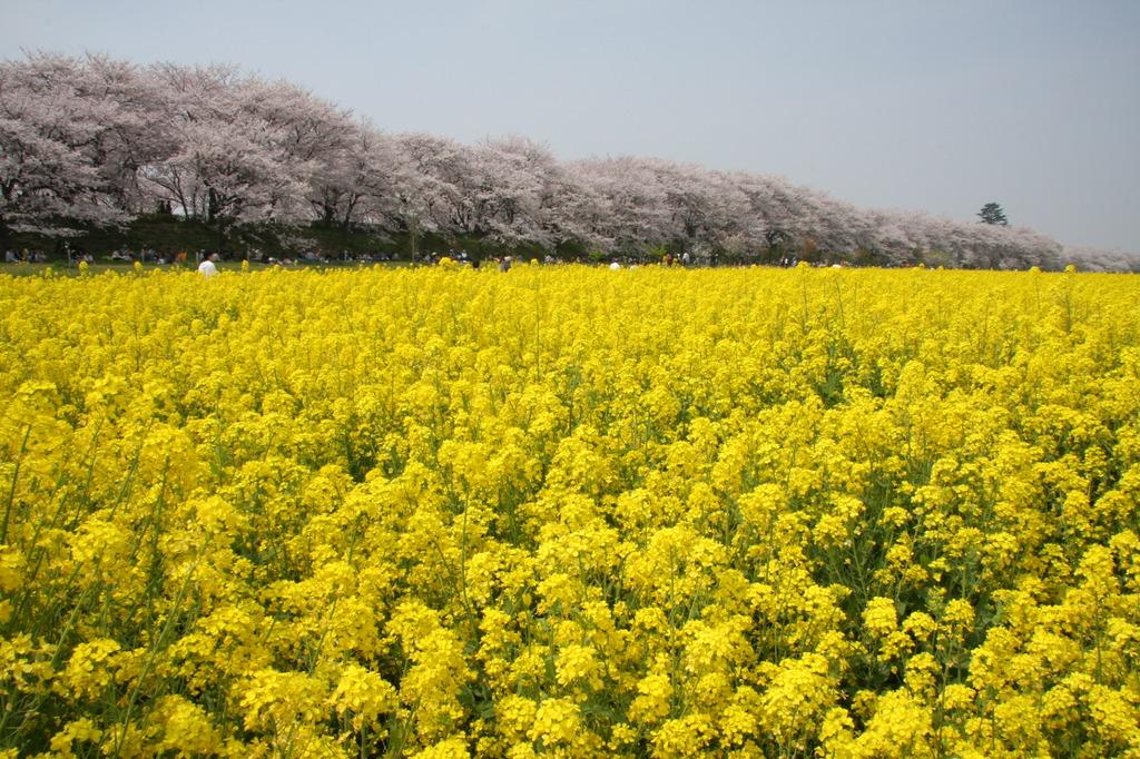 権現堂桜堤と菜の花畑