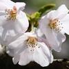 やっぱり、桜!!  Part-3