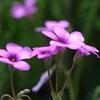 紫傍食と言う名の花