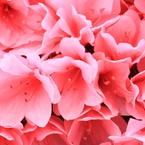 CANON Canon EOS Kiss X2で撮影した植物(ピンクのつつじ)の写真(画像)
