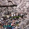 天童桜祭り