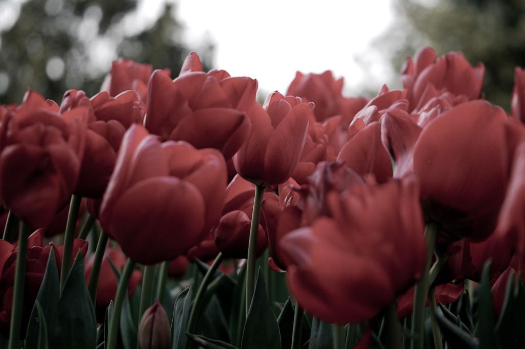 tulip tulip ♪