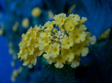 yellow in the blue
