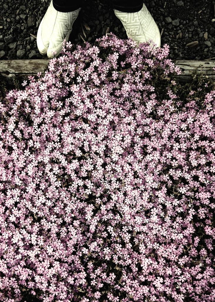 足袋と芝桜