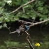 カワセミ 3羽 - 2