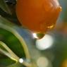 OLYMPUS E-420で撮影した植物(金柑)の写真(画像)