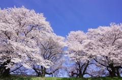 背割りの桜