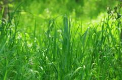 雑草も新緑