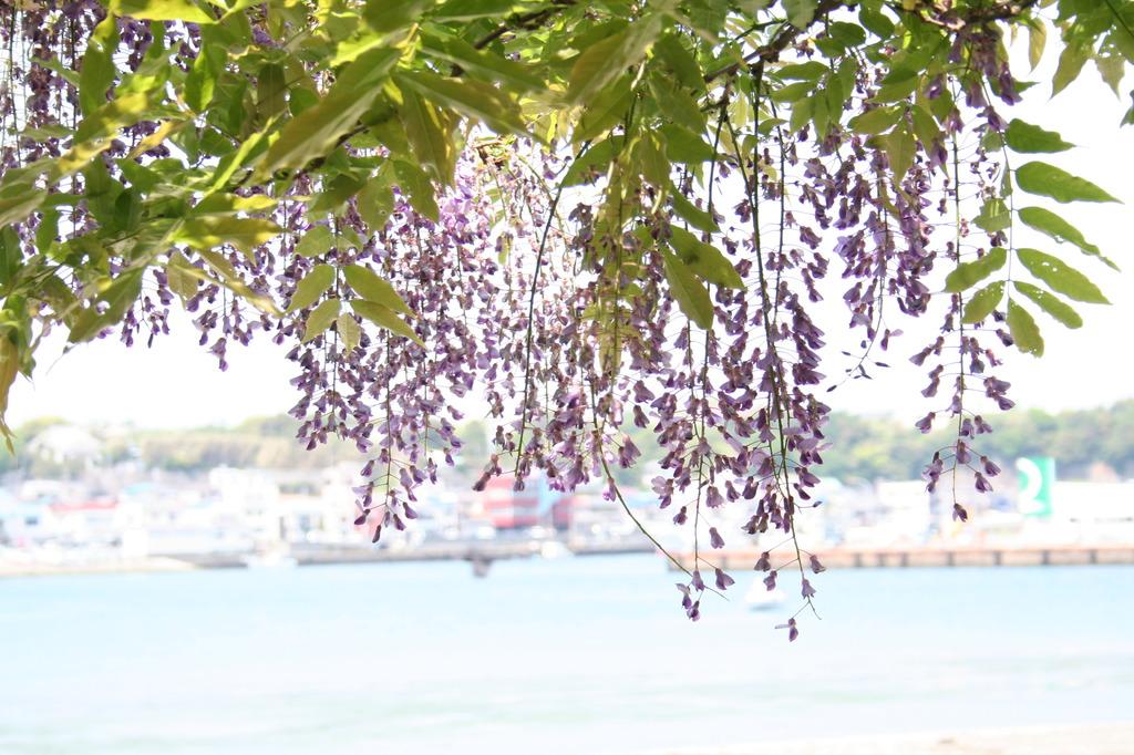 藤の花と港