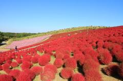 ひたち海浜公園 コキアの紅葉