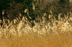 葦原をわたる光と風