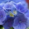 紫陽花の青