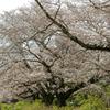 神代植物公園の桜並木