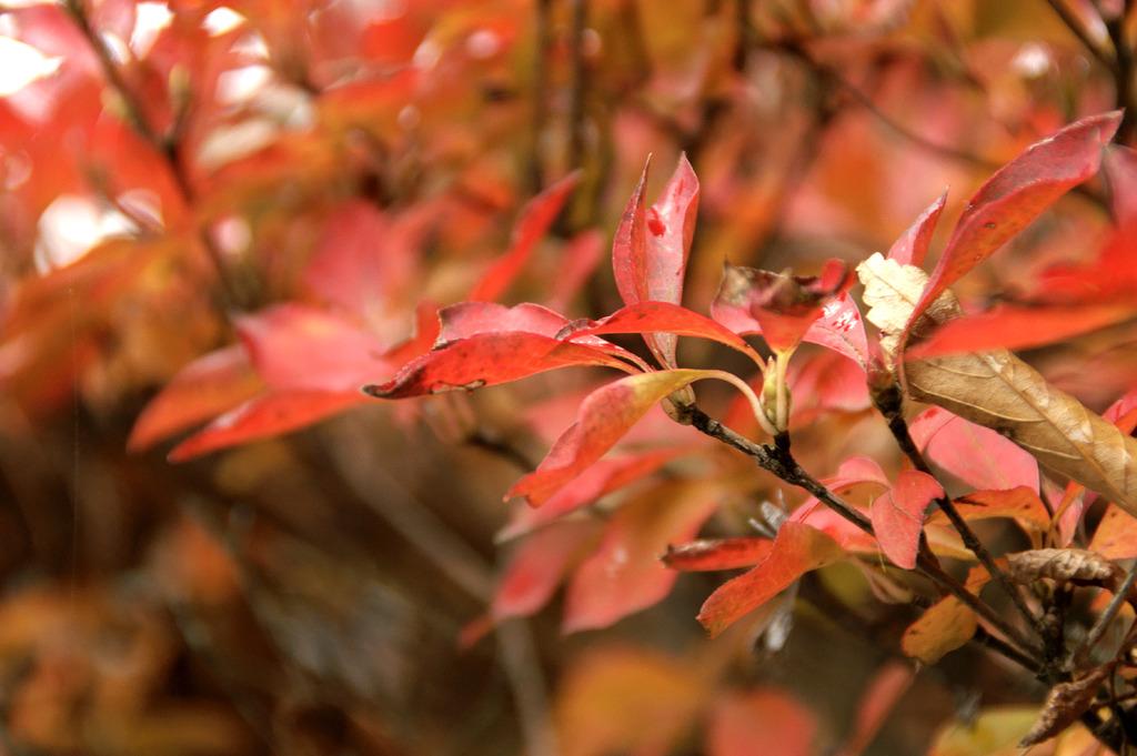 濡れそぼる紅葉