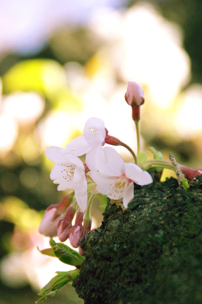綻びはじめた桜