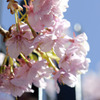 柵越えの桃の花