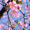 多々戸の桜