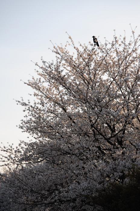 桜とカラス