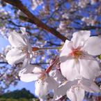 RICOH GR DIGITAL 2で撮影した植物(桜)の写真(画像)