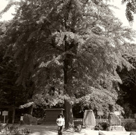 RICOH GR DIGITAL 2で撮影した植物(大木光陰)の写真(画像)