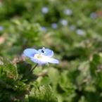 RICOH GR DIGITAL 2で撮影した植物(オオイヌノフグリ)の写真(画像)