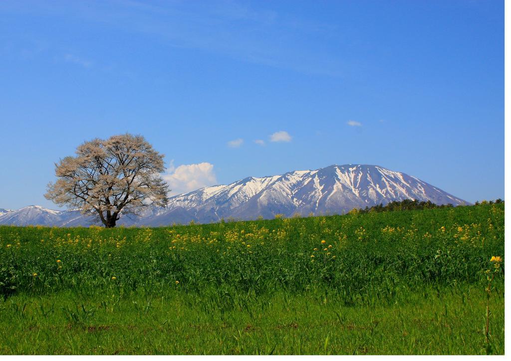 一本桜と岩手山より♪
