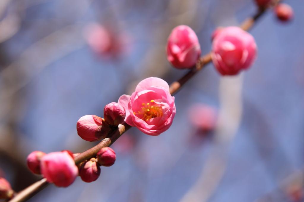 咲きはじめ