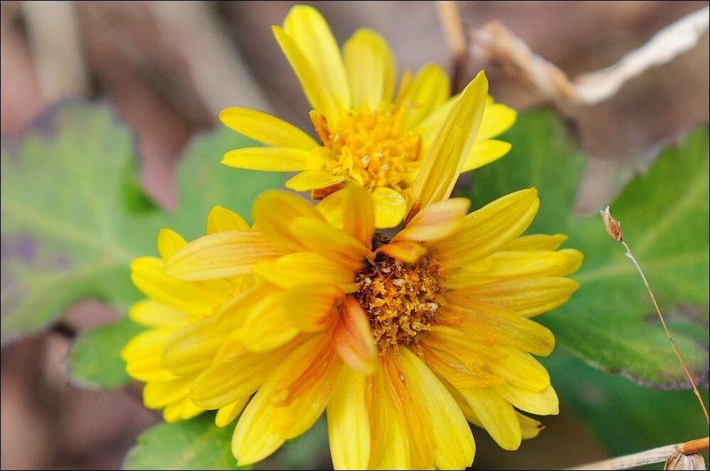 冬の野に咲く花…アップ