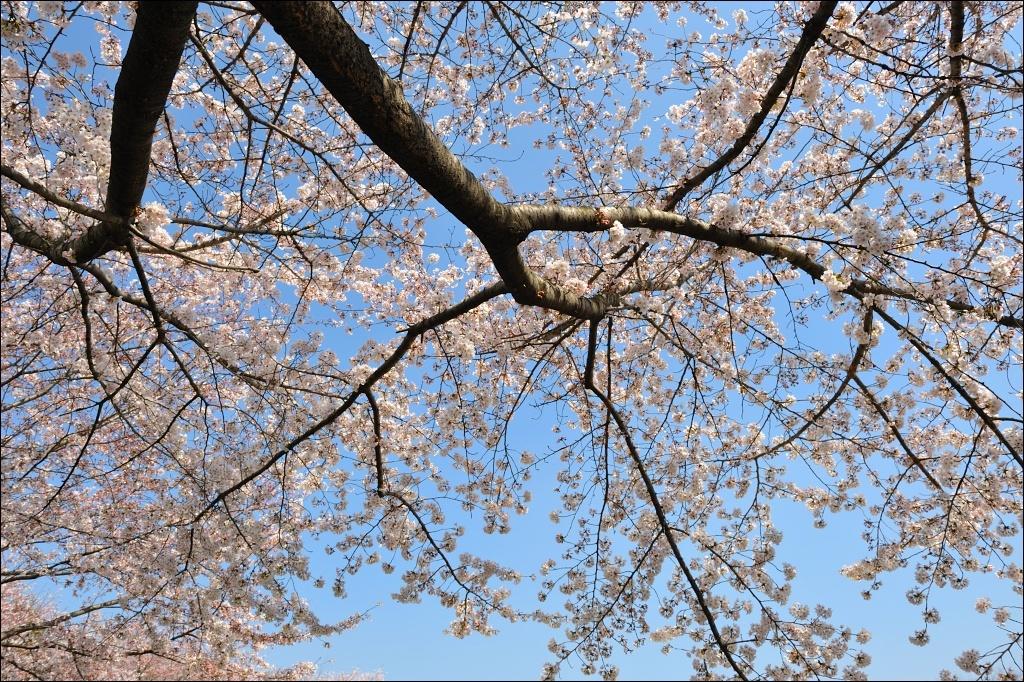 桜は下を向いて咲く優しい花