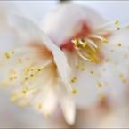 NIKON NIKON D700で撮影した植物(ume blossom)の写真(画像)