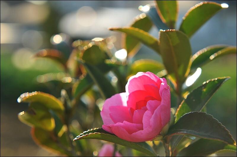 A Camellia,