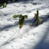 bamboo grass on snow.