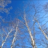 white birch and sky.