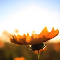 CANON Canon EOS 40Dで撮影した植物(夕日×花×空)の写真(画像)