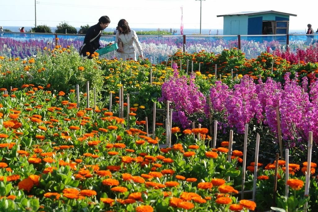 千倉町の花畑