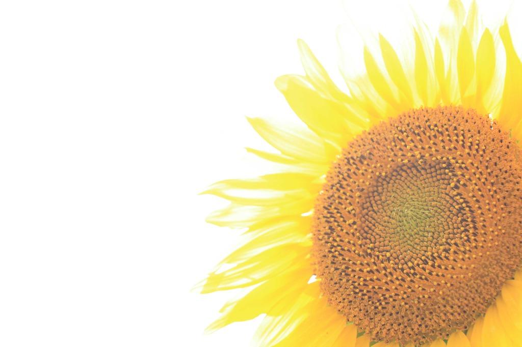 た、太陽!まぶしっ!〜ひまわりのある風景 其の三