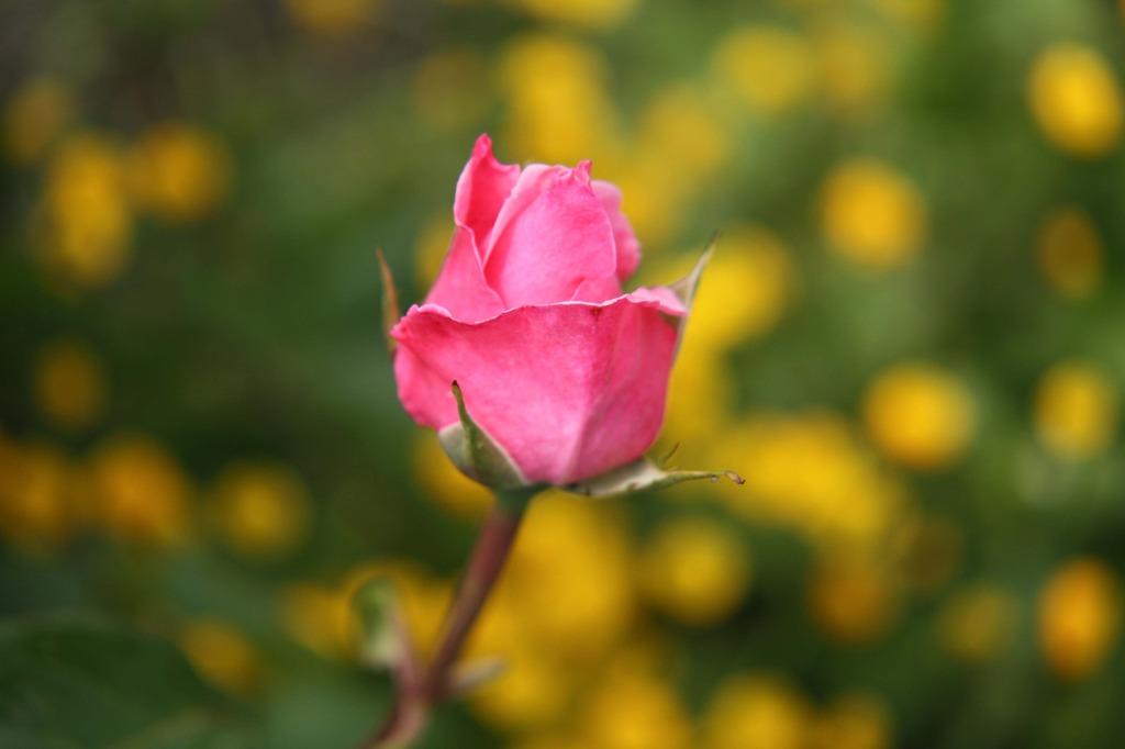 薔薇の花咲いた