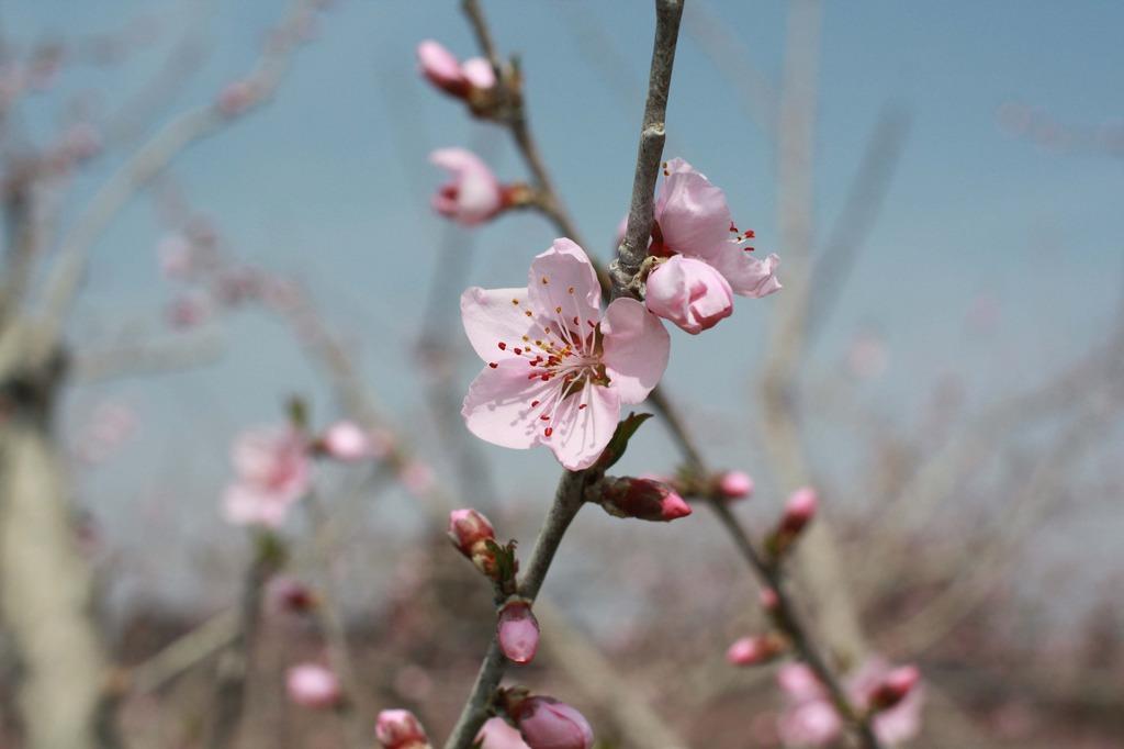 春の花・・・桃です。