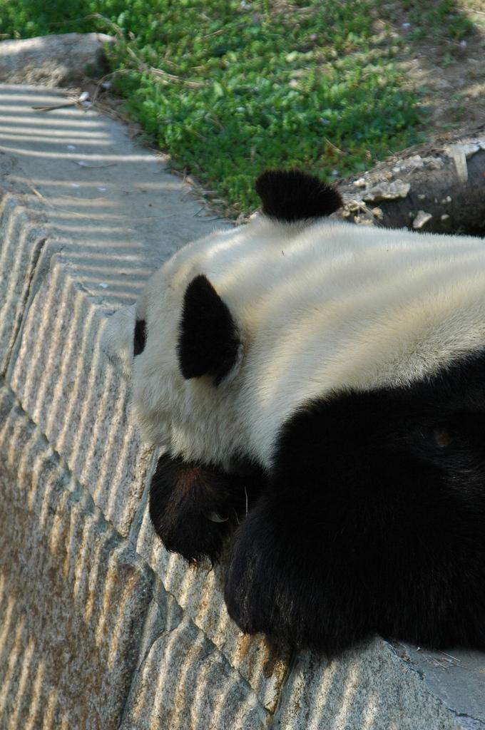 疲れたパンダ