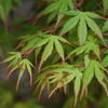 GreenMaple